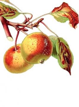 Magyar almafajták