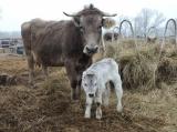 Nőtt a szarvasmarhák száma 2015-ben
