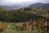 Több és jobb minőségű szőlőre számítanak a szekszárdi borvidéken